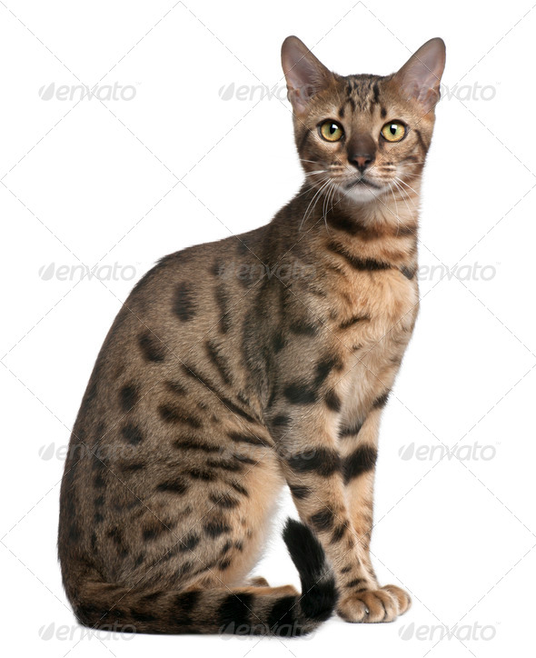 Bengal Cat, 6 months old, sitting in front of white background - Stock Photo - Images