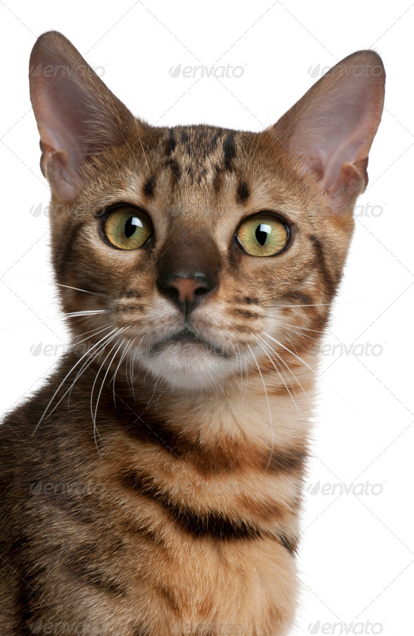 Close-up of Bengal Cat, 6 months old, in front of white background - Stock Photo - Images