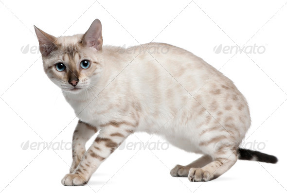 Bengal Cat, 6 months old, standing in front of white background - Stock Photo - Images