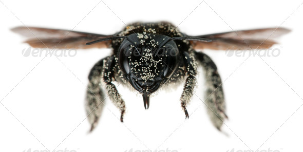 Female Carpenter bee covered with pollen grains, Apis violacea, in front of white background - Stock Photo - Images