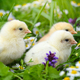 Little chickens on green grass with daisies - PhotoDune Item for Sale