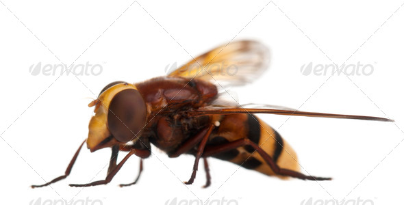 Hornet mimic hoverfly, Volucella zonaria, in front of white background - Stock Photo - Images