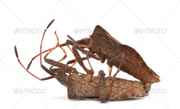 Dock bugs mating, Coreus marginatus, in front of white background - Stock Photo - Images