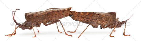 Dock bugs mating, Coreus marginatus, in front of white background - Stock Photo - Images