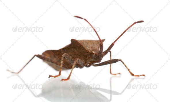 Dock bug, Coreus marginatus, in front of white background - Stock Photo - Images