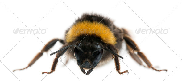 Bumblebee, Bombus sp., in front of white background - Stock Photo - Images