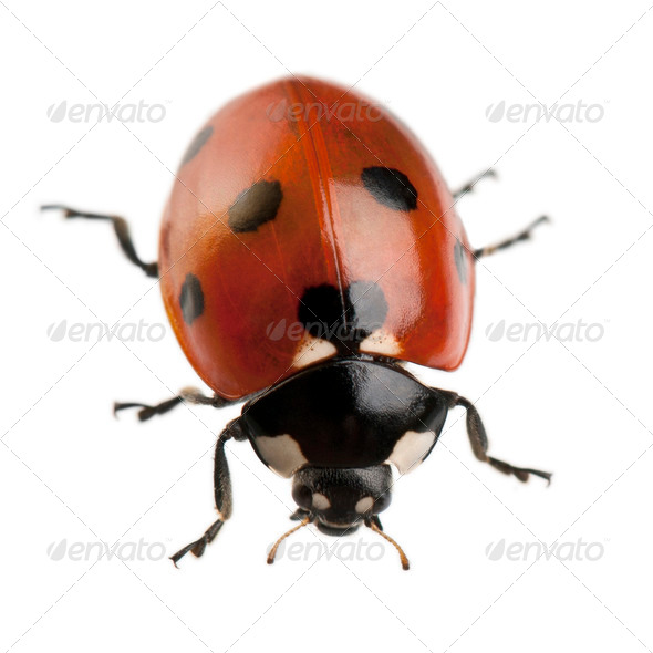 Seven-spot ladybird or ladybug, Coccinella septempunctata, in front of white background - Stock Photo - Images