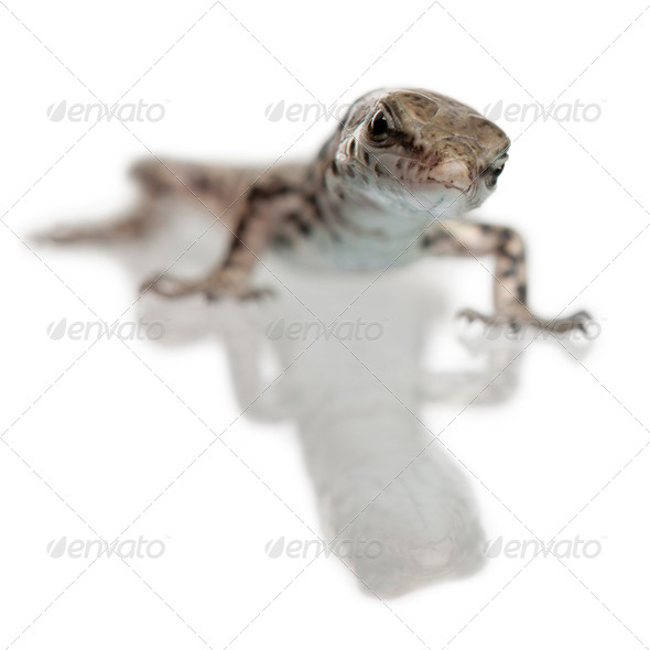 Wall lizard, Podarcis muralis, in front of white background - Stock Photo - Images