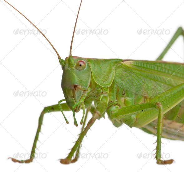 Tettigonia viridissima, great green bush-cricket, in front of white background - Stock Photo - Images
