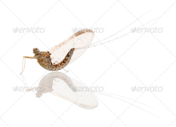 Mayfly, ephemeroptera, in front of white background - Stock Photo - Images
