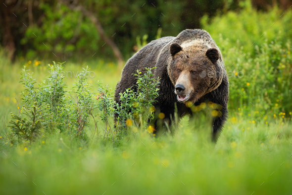 Dominant brown bear male standing on a green meadow with bushes with open mouth - Stock Photo - Images