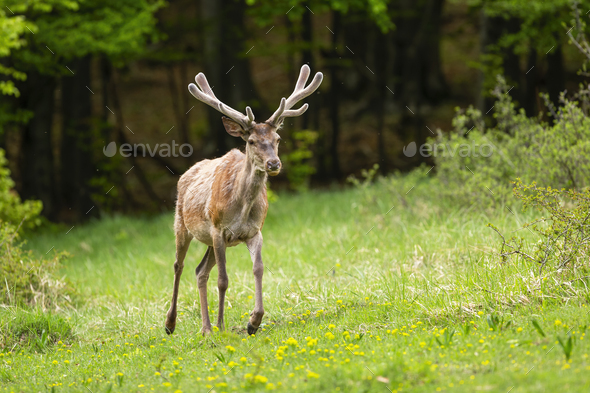Vital red deer stag with new antlers covered in velvet walking forward on glade - Stock Photo - Images
