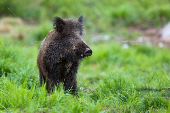 Shy wild boar standing on a meadow at dusk and looking from front view - Stock Photo - Images