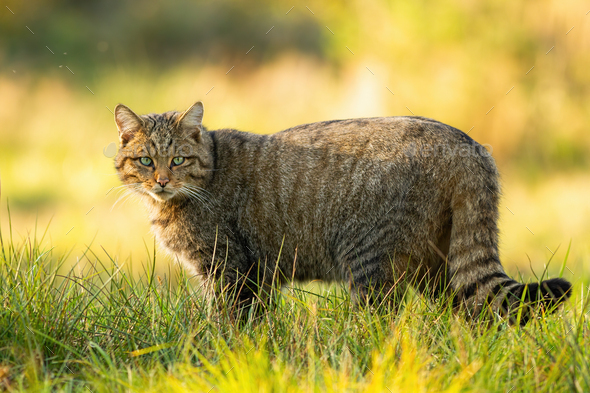 European wildcat standing on grassy meadow and looking into camera in summer - Stock Photo - Images