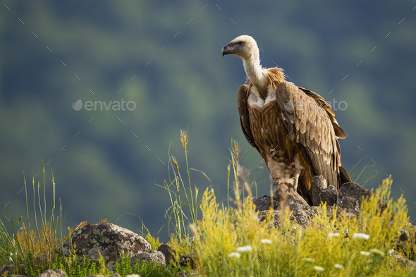 Solitary griffon vulture sitting on a rocky mountain peak in summer nature - Stock Photo - Images