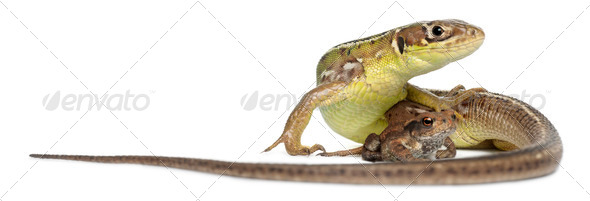 Wall lizard, Podarcis muralis, and young Common toad, bufo bufo, in front of white background - Stock Photo - Images