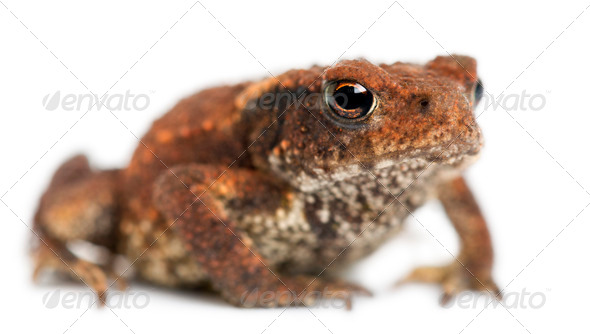 Young Common toad, bufo bufo, in front of white background - Stock Photo - Images