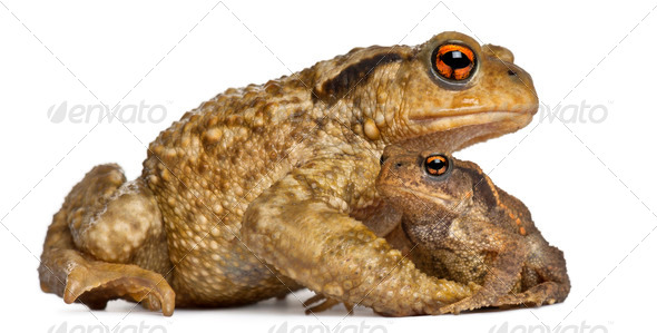Mother Common toad and her baby, bufo bufo, in front of white background - Stock Photo - Images