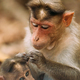 Goa, India. Bonnet Macaque - Macaca Radiata Or Zati Is Looking For Fleas On Its Cub. Close Up - PhotoDune Item for Sale