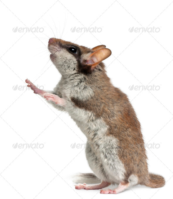 Garden Dormouse, Eliomys Quercinus, standing up in front of white background - Stock Photo - Images