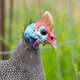 Close-up of a helmeted guineafowl, Numida meleagris - PhotoDune Item for Sale