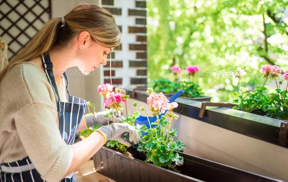 Balcony gardening while spring, woman plants flowers at home - Stock Photo - Images