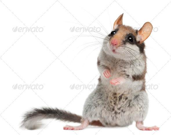 Garden Dormouse, Eliomys Quercinus, in front of white background - Stock Photo - Images