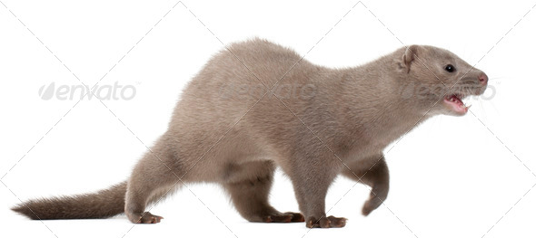 American Mink, Neovison Vison, 3 months old, in front of white background - Stock Photo - Images