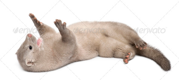 American Mink, Neovison Vison, 3 months old, lying in front of white background - Stock Photo - Images