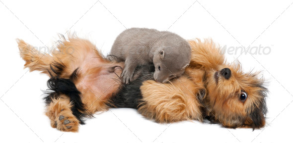 American Mink, Neovison Vison, 3 months old, and a Yorkshire dog in front of white background - Stock Photo - Images