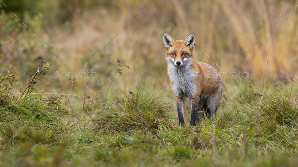 Red fox standing on meadow from front view and looking into camera in autumn - Stock Photo - Images