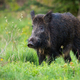 Adult wild boar with big snout looking for some freshfood on the forest clearing - PhotoDune Item for Sale