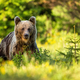 Brown bear on glade with tall green grass and spruce tree at sunset in summer - PhotoDune Item for Sale