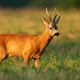 Roe deer buck standing on a stubble field in summer at sunset - PhotoDune Item for Sale