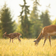 Young spotted red deer fawn and hind grazing on meadow in summer at sunset - PhotoDune Item for Sale