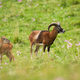 Mouflon ram and ewe looking aside on green meadow with wildflowers in summer - PhotoDune Item for Sale