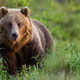 Brown bear female on glade with tall green grass looking into camera in summer - PhotoDune Item for Sale