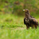 Wet lesser spotted eagle sitting on the ground in summer nature - PhotoDune Item for Sale