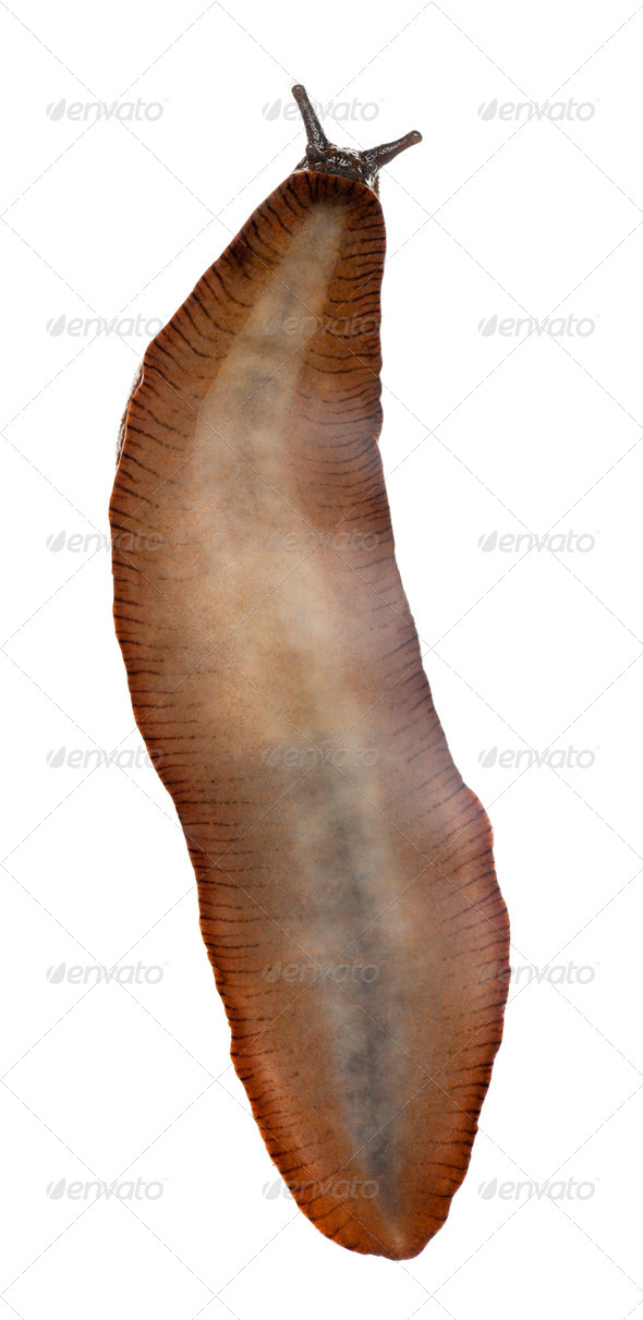Red slug, Arion rufus, in front of white background - Stock Photo - Images
