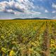 sunflower lines - PhotoDune Item for Sale