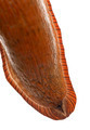 Close-up of Red slug skin, Arion rufus