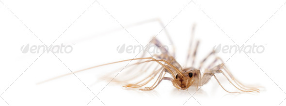 House centipede, Scutigera coleoptrata, in front of white background - Stock Photo - Images