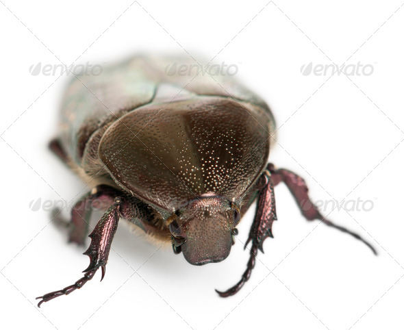 Protaetia fieberi specie of Beetle, Cetoniidae, in front of white background - Stock Photo - Images