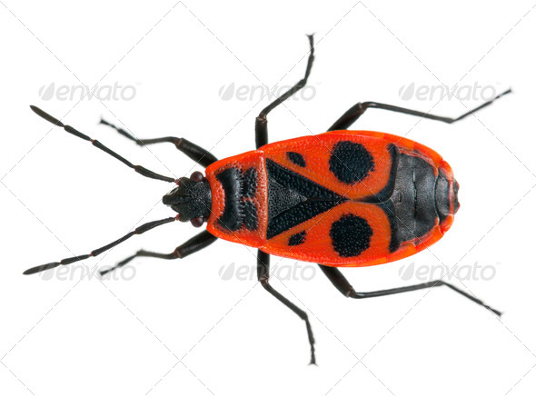 Firebug, Pyrrhocoris apterus, in front of white background - Stock Photo - Images