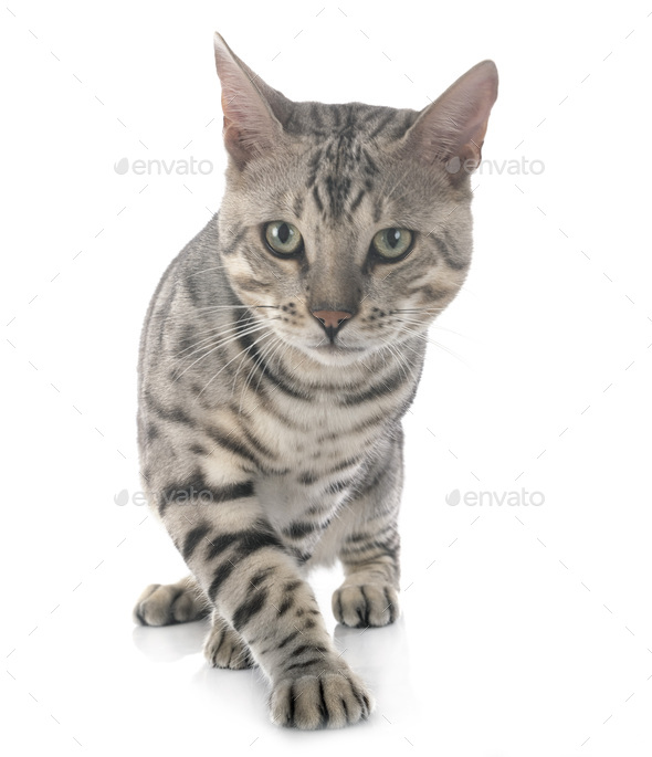 bengal cat in studio - Stock Photo - Images