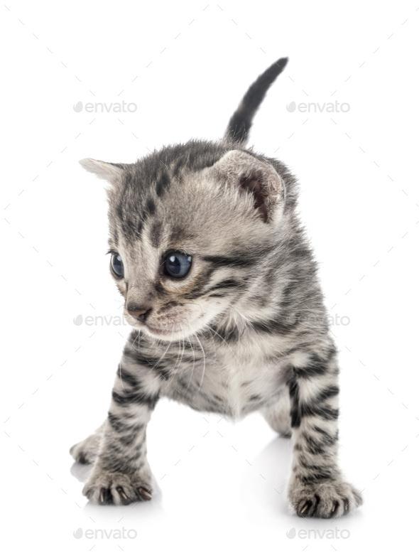 bengal kitten in studio - Stock Photo - Images