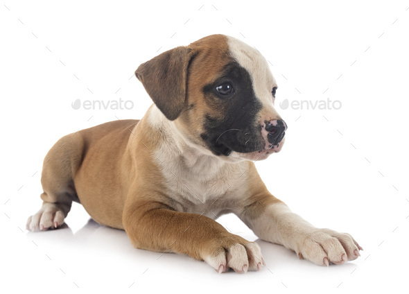 puppy american bulldog - Stock Photo - Images
