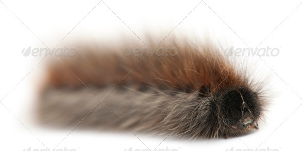 Caterpillar of Grass Eggar, is a moth, Lasiocampa trifolii, in front of white background - Stock Photo - Images