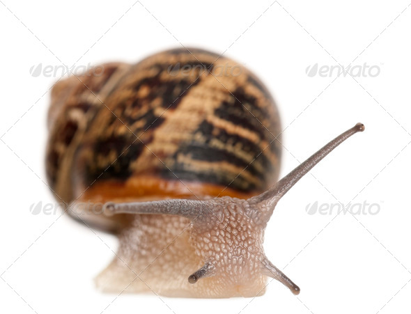 Garden Snail in front of white background - Stock Photo - Images