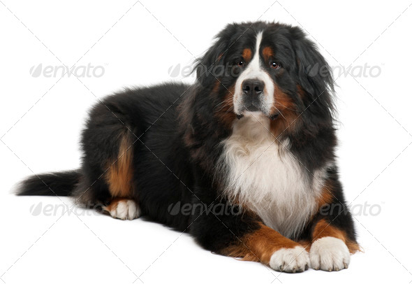 Bernese Mountain Dog, 3 years old, lying in front of white background - Stock Photo - Images